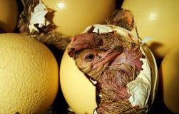Het kuiken dat van de struisvogel uit het ei komt Stock Foto