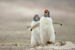 Het kuiken die van de Gentoopinguïn zijn sibling op een zandige kust achtervolgen stock foto