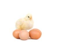 Het kuiken van de baby en bruine eieren Stock Afbeelding