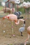 Het kuiken van de flamingo Stock Foto's