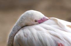 Het kuiken van de flamingo Royalty-vrije Stock Foto