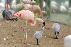 Het kuiken van de flamingo Royalty-vrije Stock Afbeeldingen
