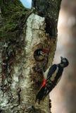 Het kuiken van de Grotere Bevlekte majoor van Spechtdendrocopos leunt uit de holte stock fotografie