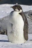 Het kuiken van de keizerpinguïn dat zich in de sneeuw de Zuidpool bevindt Royalty-vrije Stock Foto