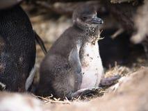 Het kuiken van de pinguïn Royalty-vrije Stock Foto's