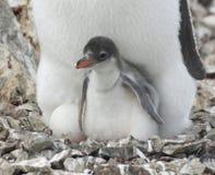 Het kuiken van de pinguïn in het nest. Royalty-vrije Stock Afbeeldingen