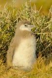 Het Kuiken van de Pinguïn van Magellanic in Patagonië Royalty-vrije Stock Fotografie