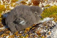 Het kuiken van het onweersstormvogels van Wilson dat op mos Antarctische isl zit Royalty-vrije Stock Afbeeldingen