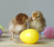 Het kuiken van Pasen stock afbeeldingen