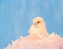 Het kuiken van Pasen dat in roze kant wordt genesteld Stock Afbeeldingen