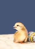 Het kuiken van Pasen en een kleurrijk ei Stock Fotografie