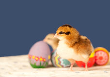Het kuiken van Pasen met kleurrijke eieren Stock Foto's