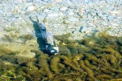 Het kuit schieten vriendzalm (Oncorhynchus-keta) in Fraser Valley, B C, Royalty-vrije Stock Foto