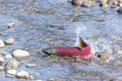 Het kuit schietende close-up van zalmvissen royalty-vrije stock fotografie