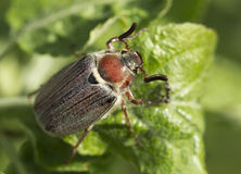 Het kunnen-insect Stock Afbeelding