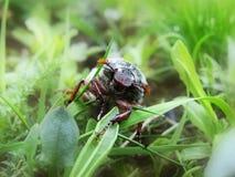Het kunnen-insect in een groen gras Stock Afbeeldingen