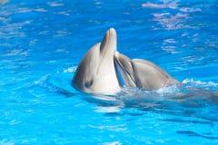 Het kussen dolfijnen Stock Afbeeldingen