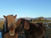 Het kussen Ijslandse Paarden Royalty-vrije Stock Foto