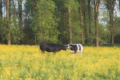 Het kussen koeien Stock Fotografie