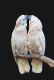 Het kussen van papegaaien royalty-vrije stock afbeeldingen
