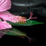 Het kuuroordconcept roze hibiscus bloeit op groen blad, zen basalt st Royalty-vrije Stock Fotografie