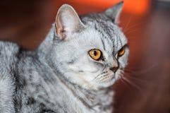 Het kwade Britse kat liggen Stock Foto's