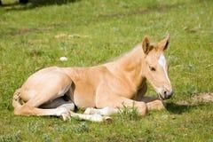 Het kwartpaard van Palomino Royalty-vrije Stock Afbeelding