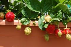 Het kweken van aardbeien op balkon Stock Afbeeldingen