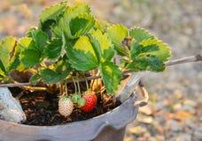 Het kweken van Aardbeien in Tropische Klimaten Stock Foto's