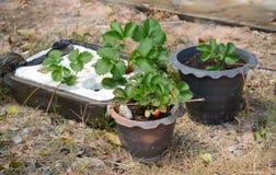 Het kweken van Aardbeien in Tropische Klimaten Stock Fotografie