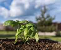Het kweken van Basilicumspruit op een grond Royalty-vrije Stock Afbeeldingen