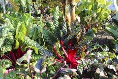 Het kweken van bieten met rode stelen royalty-vrije stock foto
