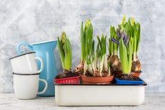 Het kweken van bloembol in pot op witte backgroun royalty-vrije stock fotografie