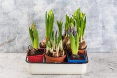 Het kweken van bloembol in pot op witte backgroun royalty-vrije stock afbeeldingen
