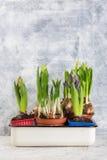 Het kweken van bloembol in pot op witte backgroun royalty-vrije stock foto's
