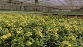 Het kweken van bloemen op industri?le schaal Groene installatie met gele bloemen stock footage