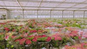 Het kweken van bloemen op industri?le schaal Groene installatie met rode bloemen stock videobeelden
