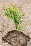 Het kweken van boom in de tuin Jonge boom stock fotografie