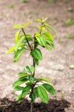Het kweken van boom in de tuin Jonge boom royalty-vrije stock foto