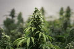 Het kweken van cannabisbloem Royalty-vrije Stock Foto's