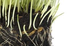 Het kweken van de lenteinstallaties in grond stock foto