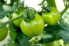 Het kweken van de tomaten Royalty-vrije Stock Afbeeldingen