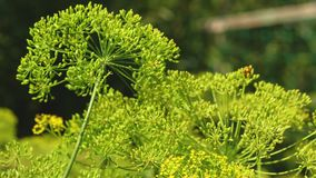 Het kweken van dille op de aanplanting van een landbouwer De close-up van de dillebloeiwijze bloeiende dille in de zomer, de lent stock videobeelden