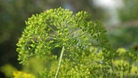 Het kweken van dille op de aanplanting van een landbouwer De close-up van de dillebloeiwijze bloeiende dille in de zomer, de lent stock video