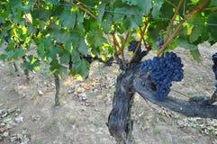 Het kweken van druiven voor Barolo Piemonte Italië Stock Afbeelding