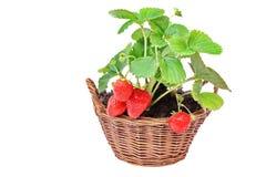 Het kweken van Everbearing-Aardbeien in de Huistuin Stock Afbeeldingen