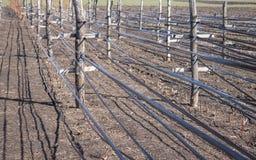 Het kweken van frambozen in rijen, zorg voor frambozenstruiken stock foto