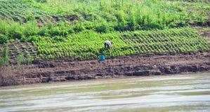 Het kweken van gewassen op rivierbanken Mekong riviercruise Stock Foto