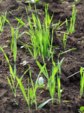 Het kweken van gras op grond Royalty-vrije Stock Foto