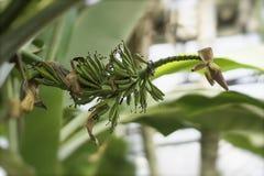 Het kweken van groene bananen met bloem op het close-up van de banaanpalm, zonnige dag Tropisch Gebladerte Abstract natuurlijk pa Stock Afbeeldingen
